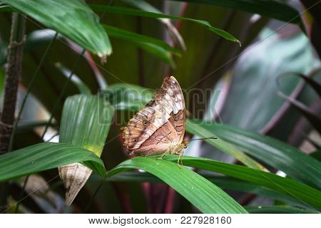 The butterfly Cruiser butterfly Vindula arsine female with orange and brown closed wings is sitting on the palm tree leaves in bush in Cairns, Kuranda, Australia stock photo