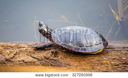 A Painted Turtle Sits On A Log In A Pond. The Reptile Has Its Rear Legs And Tail Retracted Within It
