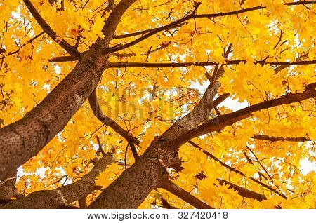 Tree trunk with maple leaves. view from below. Autumn background with golden yellow foliage. Bright autumn time. Colorful time year. Plants outdoors. Horizontal background. stock photo