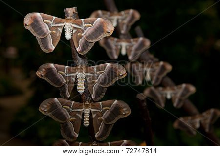 Silk butterfly Samia ricini close-up. Perched on branches stock photo