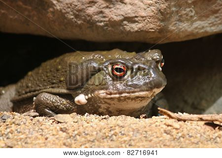 Colorado River toad Incilius Bufo alvarius sitting stock photo
