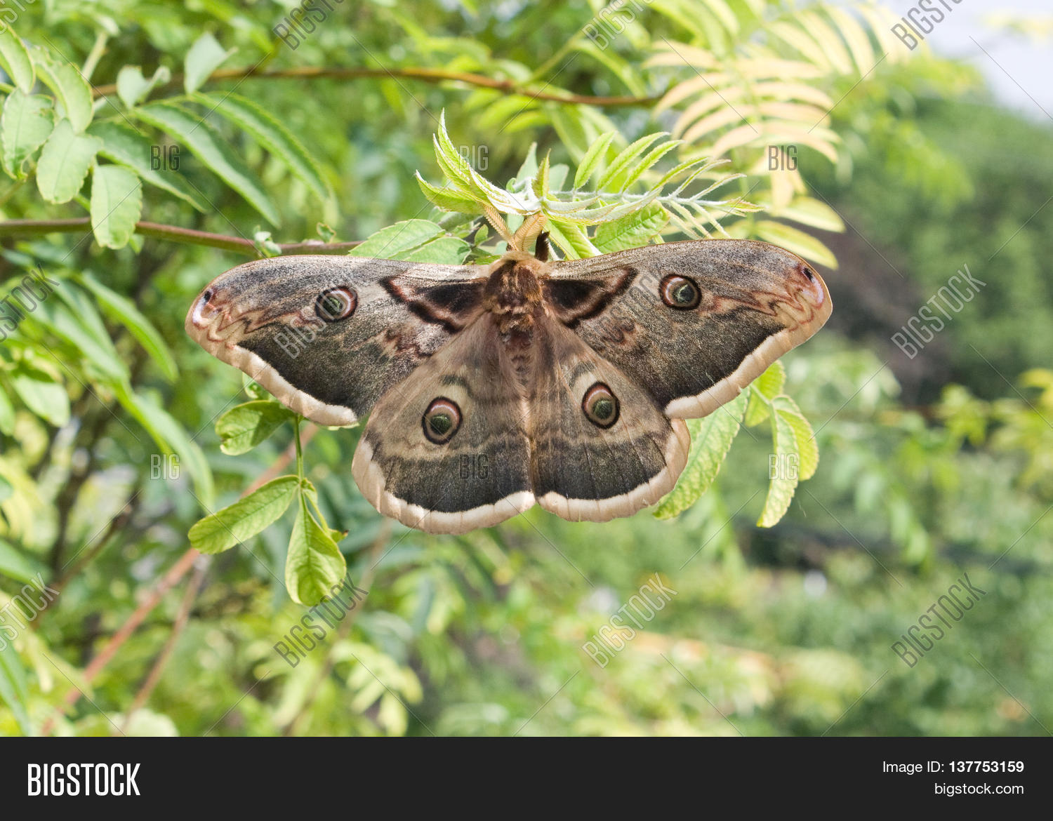 Saturnia pyri, the Giant Peacock Moth, is a Saturniid moth which is native to Europe.