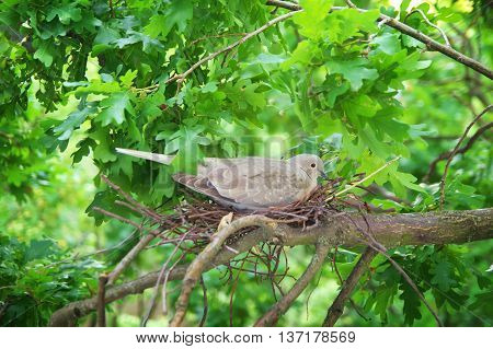 Pigeon bird. Nest of a bird in the nature. Wild pigeon incubates the eggs stock photo