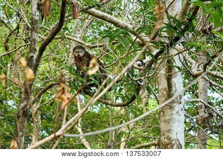 Bear Cuscus (Ailurops ursinus) in tree. Tangkoko National Park. Sulawesi. Indonesia stock photo