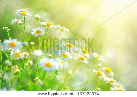 Chamomile field flowers border. Beautiful nature scene with blooming medical chamomilles in sun flar