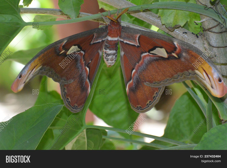 Gorgeous Orange Atlas Moth Living in Nature