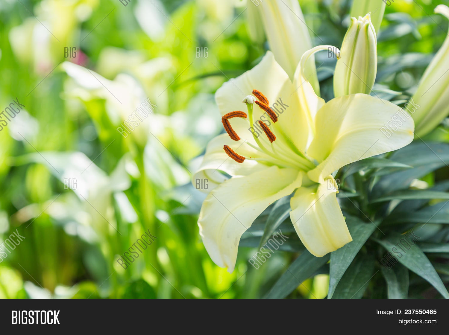 yellow lily flower beautiful lily flower in lily flower garden artistic background beautiful izmirmasajfo