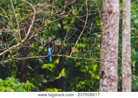 beautiful white-throated kingfisher, Halcyon smyrnensis. Beautiful bird on a branch. Kingfisher in natural habitat. Andaman and Nicobar Islands India stock photo
