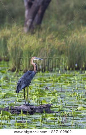 Goliath heron in Mapungubwe national park, South Africa ; Specie Ardea goliath family of Ardeidae stock photo