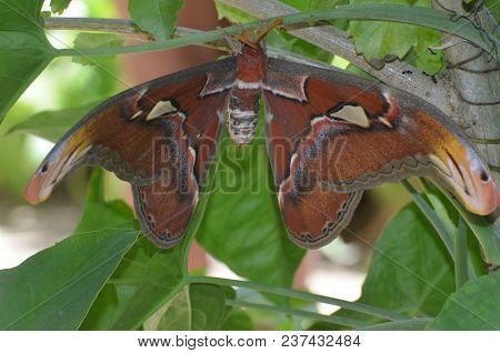 Gorgeous Orange Atlas Moth Living in Nature stock photo