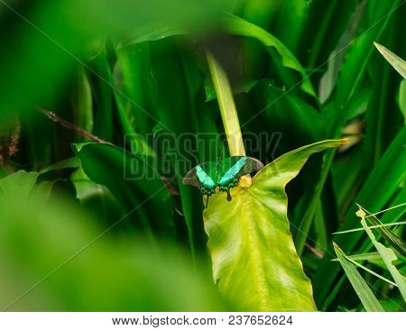 Emerald swallowtail butterfly on green leaf. stock photo
