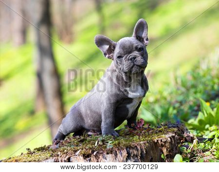 puppy of the French bulldog on the background of the landscape stock photo