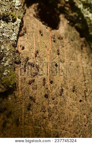 Group of ants constructing their nest in the tree. Good teamwork. stock photo