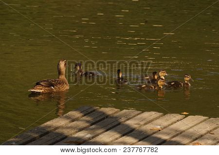 A female duck which looks at its ducklings. Ducklings are all together included. They are in the pond of the mute. The lake is situated to Elancourt, it is a French city in the department of Yvelines. Shooting of days, it is a sunny day and without charac stock photo