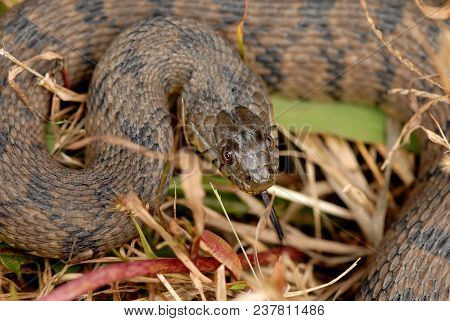 A diamondback water snake from north weatern Missouri. stock photo