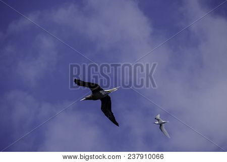 Red-footed booby, sula sula, and white or fairy tern, gygis alba, in flight over Boatswain Bird Island at Ascension Island in South Atlantic Ocean. stock photo
