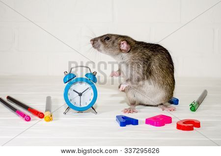 Gray rat or mouse sitting with a blue alarm clock, letters abc, colored pens on a white background with a brick wall. The concept of education, school, time, morning with copyspace stock photo