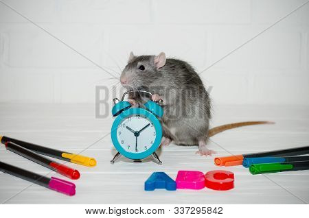 Gray rat sitting with blue alarm clock, letters abc, colored pens on white background with a brick wall. He holds watch with his paws. The concept of education, school, time, morning with copyspace stock photo