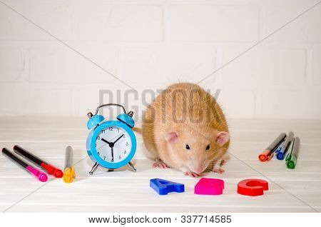 Red rat sitting with a blue alarm clock, letters abc, colored pens on a white background with a brick wall. The concept of education, school, time, morning with copyspace stock photo