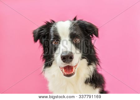 Funny studio portrait of cute smilling puppy dog border collie isolated on pink background. New lovely member of family little dog gazing and waiting for reward. Pet care and animals concept. stock photo