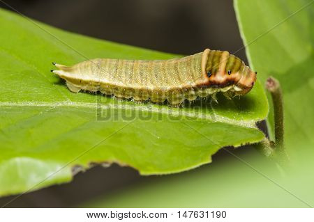 Caterpillar of Five bar swordtail butterfly (antiphates pompilius) on host plant stock photo