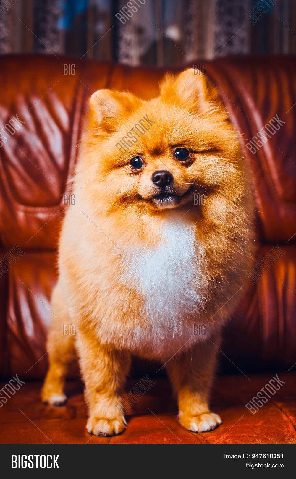 Cute Pomeranian Dog With Red Hair Like A Fox Resting On The Chair