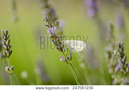 Pieris brassicae butterfly resting on the lavender.Blurred background,shallow depth of field stock photo