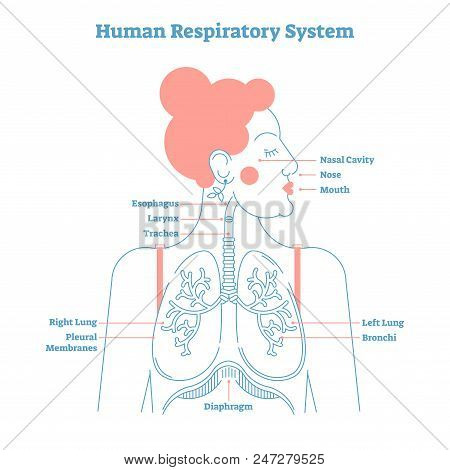 Human Respiratory System anatomical line style artistic vector illustration, medical education cross section diagram with esophagus, larynx, trachea, lungs and diaphragm. stock photo