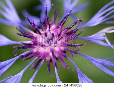 Blue spidery flower with reddish centre of Mountain Bluet in High Tatras. Slovakia. Centaurea montana. Great blue-bottle. Macro. stock photo