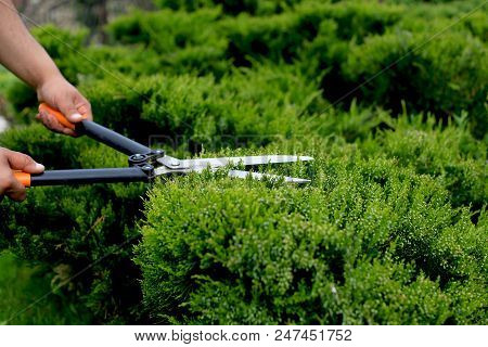 Work in the garden. Shearing of the juniper with gardening scissors, Soft focus. Garden art/ design/ landscape. Topiary. Blurred background with juniper. stock photo