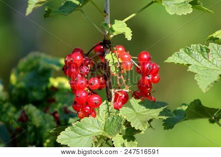 Redcurrant or Ribes rubrum or Red currant bright red ripe berries surrounded with thick green leaves growing on warm sunny day stock photo