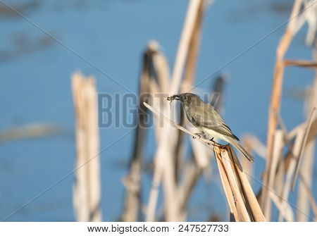 bells vireo is perched with dinner in the noon day sun stock photo