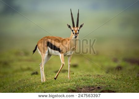 Thomson gazelle stands facing camera on mound stock photo