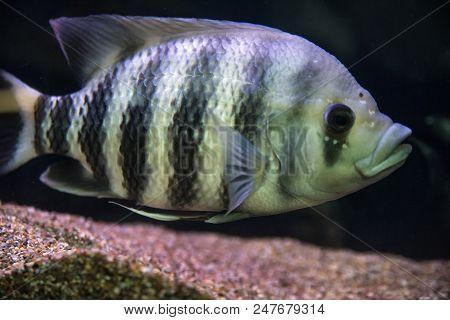 black-striped cichlasoma floats in the aquarium on black background. stock photo