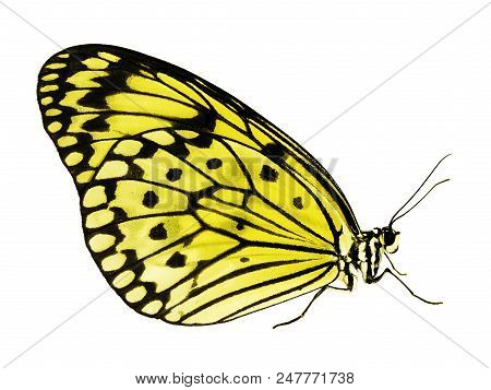 A paper kite butterfly, rice paper butterfly or large tree nymph, Idea leuconoe, The big white butterfly sits with its wings closed. Side view, isolated on white background, color change to yellow stock photo