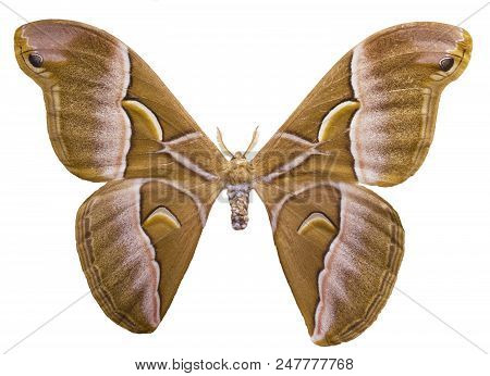 Ailanthus silkmoth, Samia cynthia , is isolated on white background. This is a male speciment of a South-Eastern Asia moth used for the production of technical silk. stock photo