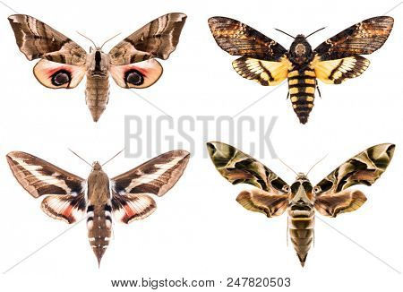 Set of four Sphingidae hawk-moths night moths - Smerinthus ocellatus, Daphnis neri, Hyles gallii, Acherontia atropos isolated on white stock photo