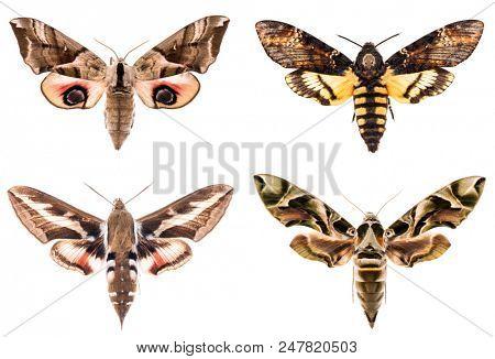 Set of four Sphingidae hawk-moths night moths - Smerinthus ocellatus, Daphnis neri, Hyles gallii, Acherontia atropos isolated on white stock photo