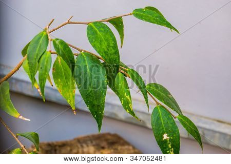 leaves of the Dapania pentandra, believed to be extinct in the wild and last specie on earth, extinct tropical plant specie from Madagascar stock photo