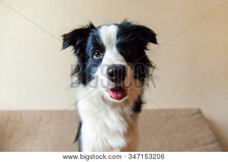 Funny portrait of cute smilling puppy dog border collie on couch. New lovely member of family little dog at home gazing and waiting for reward. Pet care and animals concept stock photo