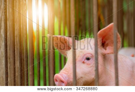 Little pig in farm. Small pink piglet. African swine fever and swine flu concept. Livestock farming. Pork meat industry. Healthy and cute pig in stall or barn. Mammal animal. Swine breeding. stock photo
