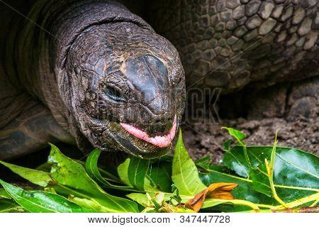 Giant Aldabra Seychelles Tortoise, Aldabrachelys gigantea, Union Estate Park, La Digue, Republic of Seychelles, Indian Ocean, Africa stock photo