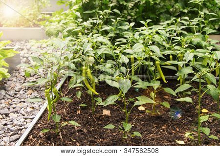 Young pepper plants with long green fruits grow in the summer on a vegetable patch, the concept of organic vegetable farming, sun glare and glare stock photo