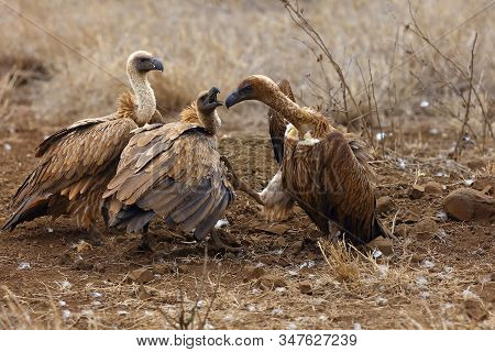 The white-backed vulture (Gyps africanus) fighting for the carcasses.Typical behavior of bird scavengers around carcass, rare observations during safari. stock photo