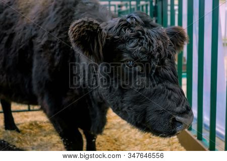 Portrait of black bull at agricultural animal cow exhibition, cattle trade show. Farming, agriculture industry, livestock and animal husbandry concept stock photo