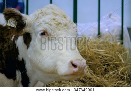 Portrait of sad milking cow looking at camera at agricultural animal exhibition, cattle trade show - close up view of cow head. Farming, agriculture industry and animal husbandry concept stock photo