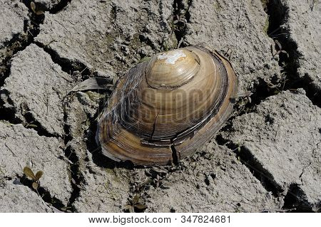 Cracked Seashell. Freshwater clam residue. Part of a huge area dried land suffering from drought - in cracks. Dry water reservoir. Natural drought concept: dried cracked earth soil ground texture background. Rough land dry crack erosion in the ground. Dr stock photo