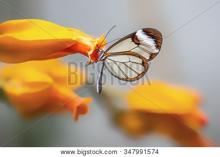 Beautiful Glasswing Butterfly (Greta oto) in a summer garden on a orange flower. In the amazone rainforest in South America. Presious Tropical butterfly. stock photo