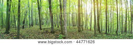 Panorama d'une forêt vert été