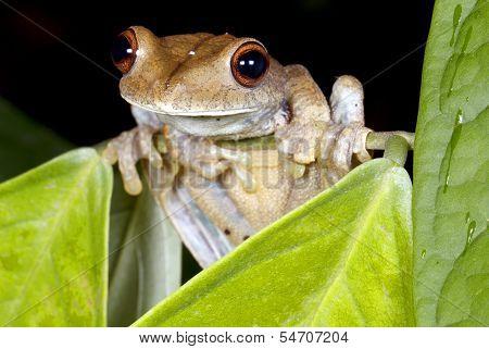 Map treefrog (Hypsiboas geographicus) in the rainforest understory Ecuador stock photo